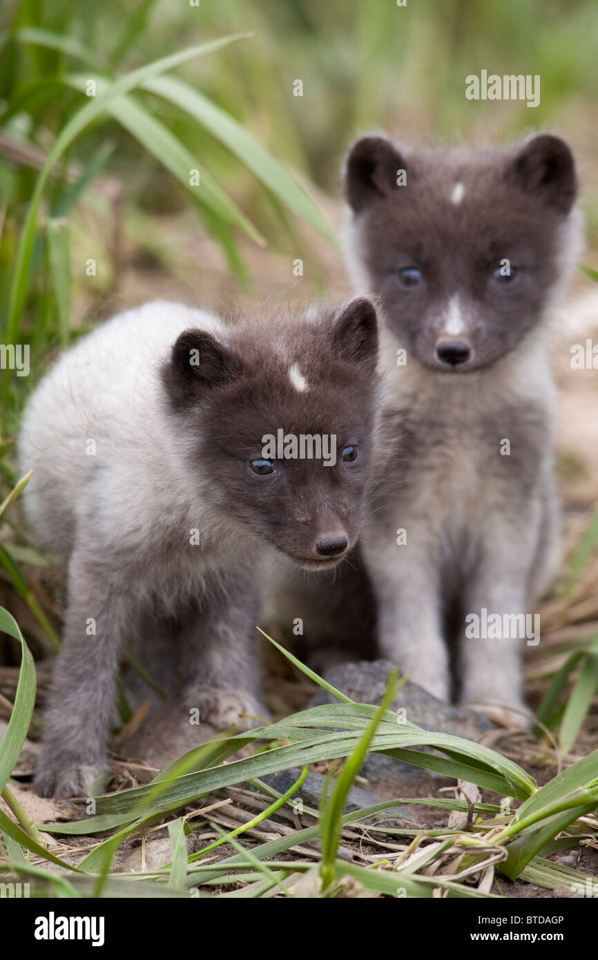Close up of Arctic Fox pups, Saint Paul Island, Pribilof Islands, Bering Sea, Alaska, Southwestern, Summer - Stock Image