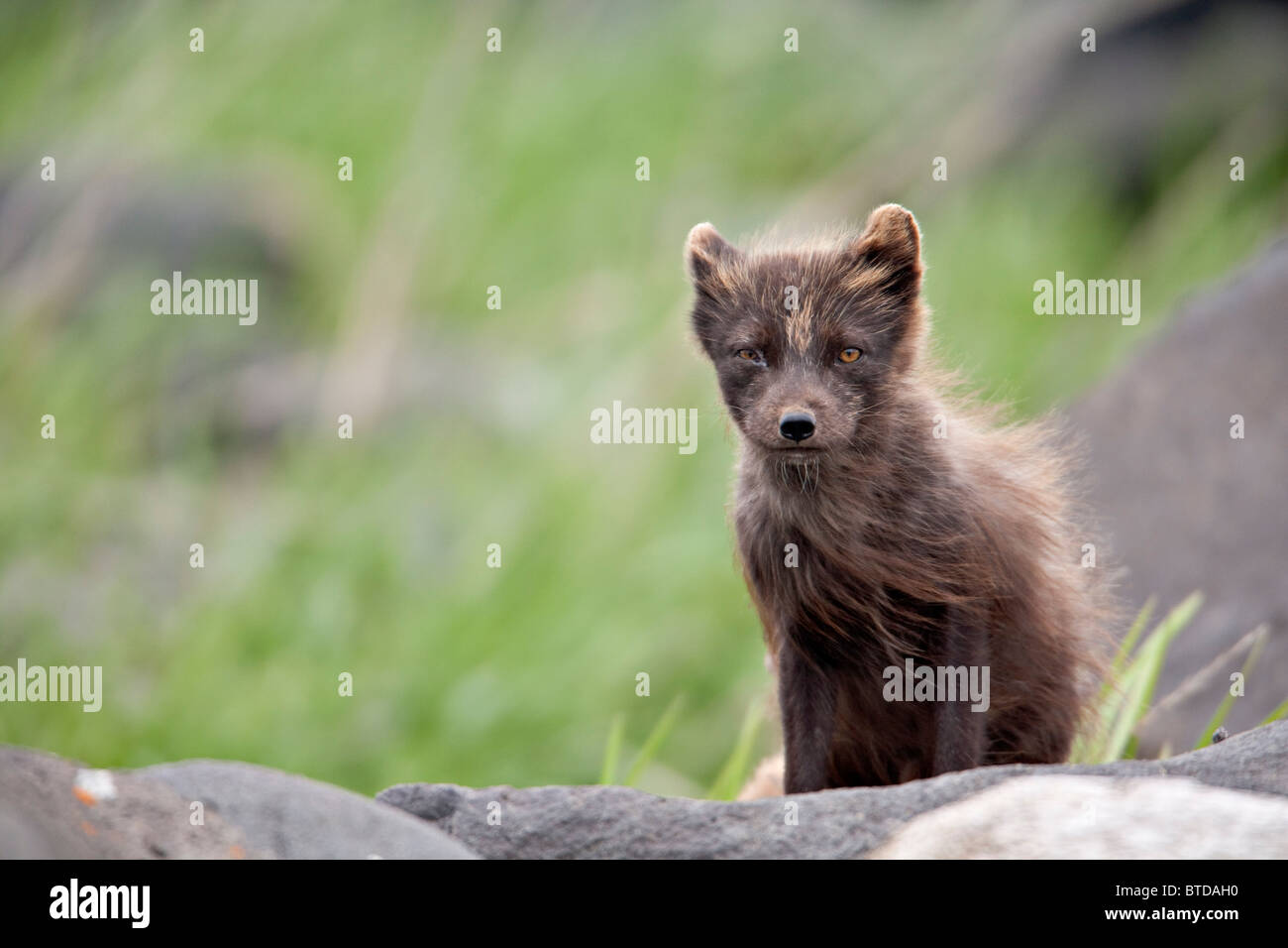 Arctic Fox in  blue phase standing on rock in wind, Saint Paul Island, Pribilof Islands, Bering Sea, Southwestern - Stock Image