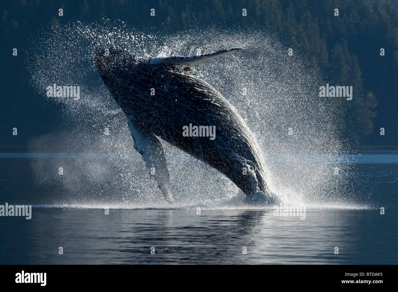 Humpback Whale breaching in the waters of the Inside Passage, Southeast Alaska, Summer Stock Photo