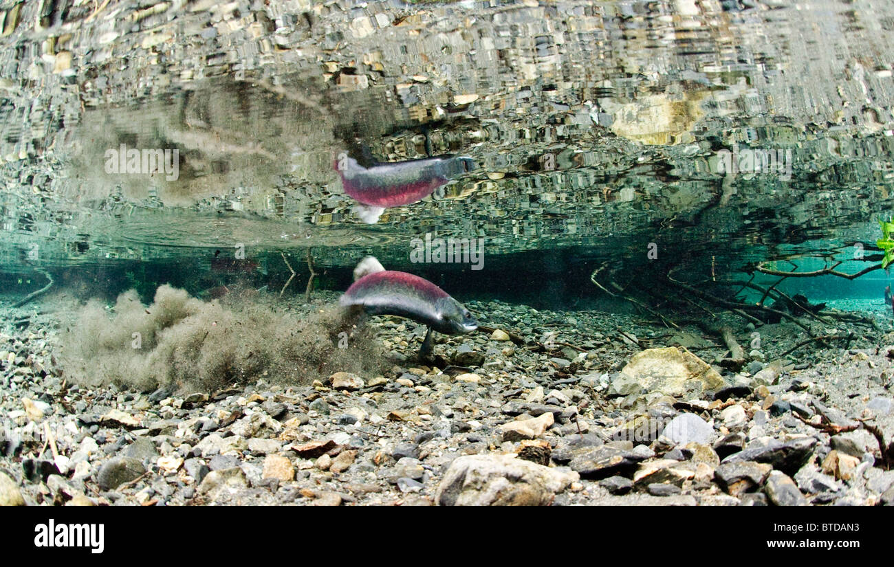 Underwater view of a female Sockeye salmon excavating a redd, Power Creek, Copper River Delta, Prince William Sound - Stock Image