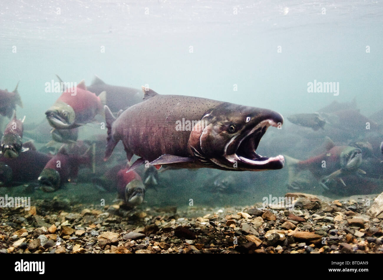 Underwater view of male Coho Salmon displaying the gaping behavior to Sockeye Salmon, Power Creek, Prince William - Stock Image