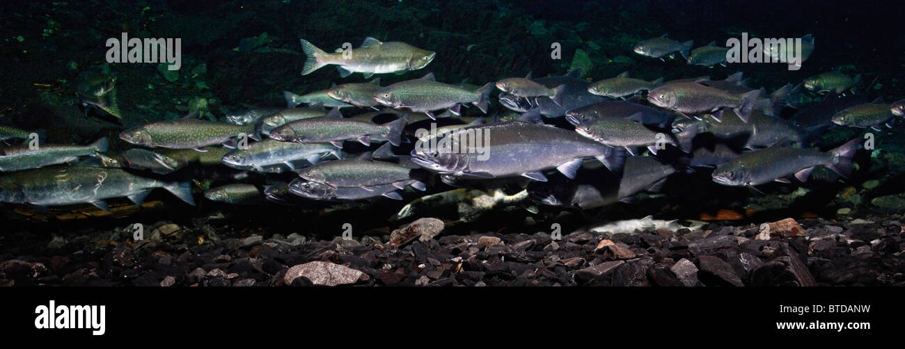 Dolly Varden char with Pink salmon and Coho salmon schooling in spawning grounds, Hartney Creek, Prince William - Stock Image