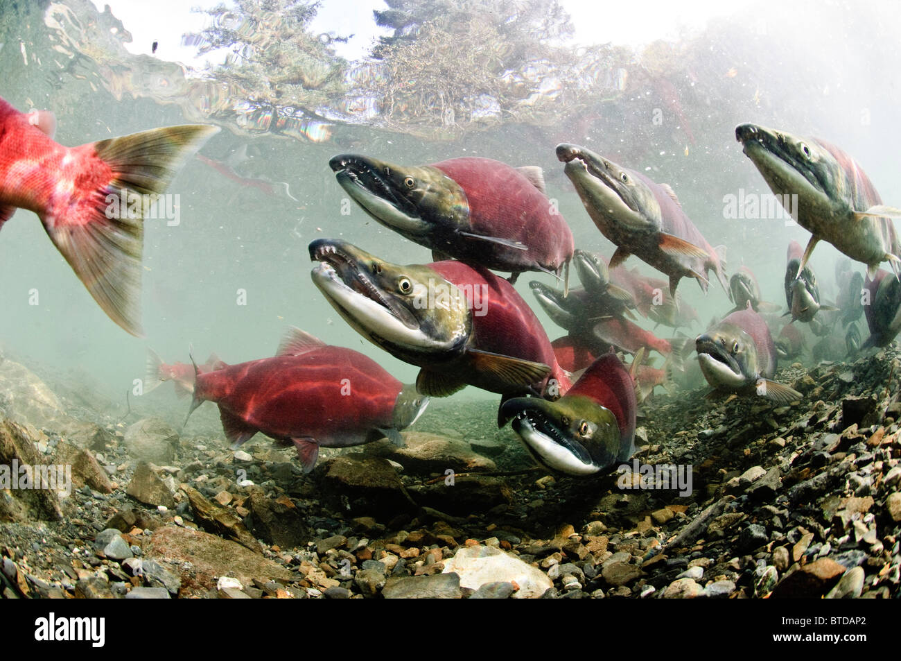 Mature male Sockeye salmon on spawning grounds, Power Creek, Copper River Delta, Prince William Sound,  Southcentral - Stock Image