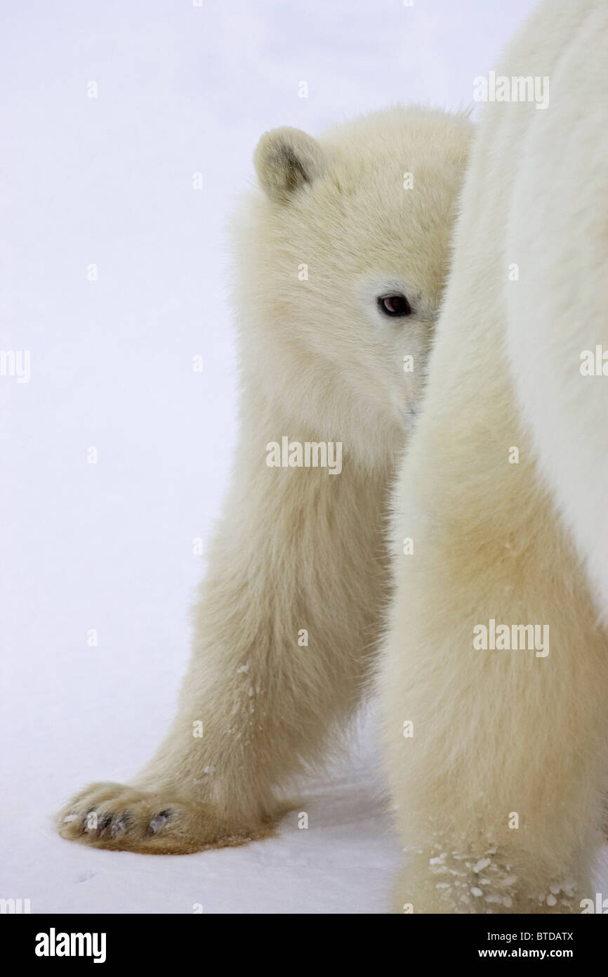 A yearling Polar Bear (Ursus maritimus) cub takes shelter behind its mother's hind legs, Churchill, Manitoba, Canada, Stock Photo