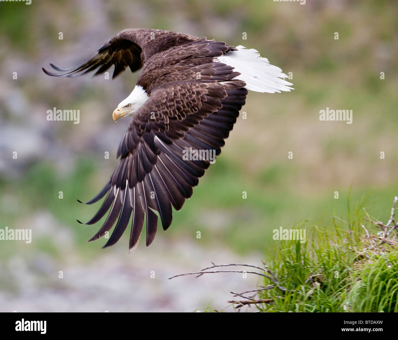 An female eagle flys protectively over her nest high in the rocks near Kukak Bay, Katmai National Park, Southwest - Stock Image