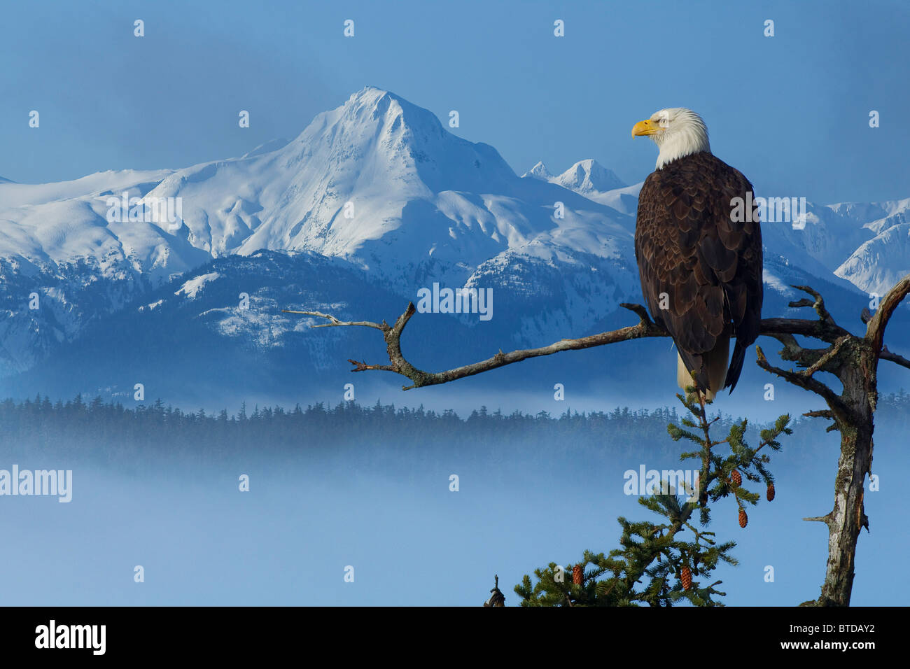 Bald Eagle perched on Spruce branch overlooking the Chilkat Mountains and fog filled Tongass National Forest, Alaska - Stock Image