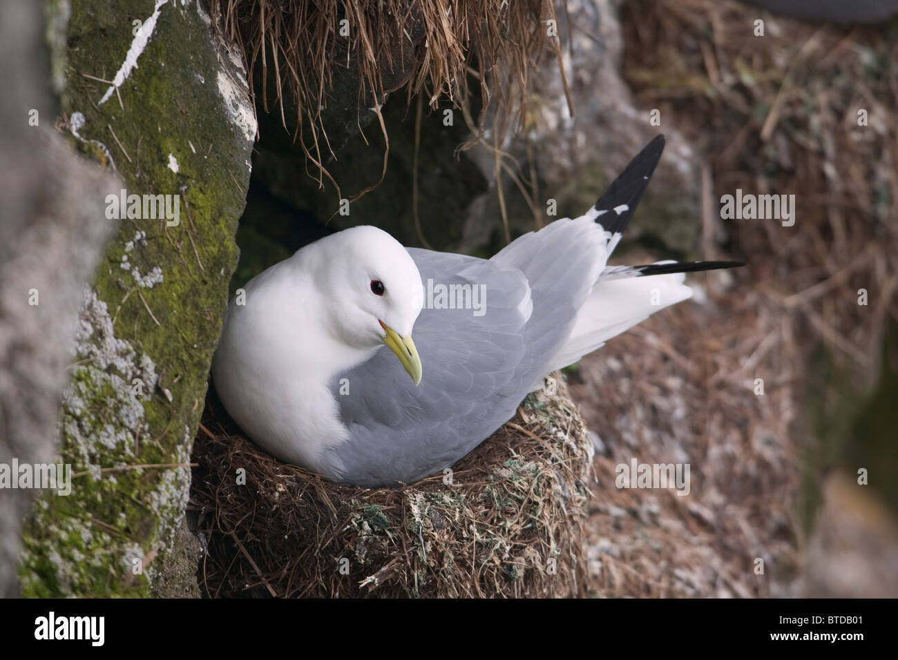 Black-legged Kittiwake nesting on St. Paul Island, Pribilof Islands, Bering Sea, Southwest Alaska - Stock Image