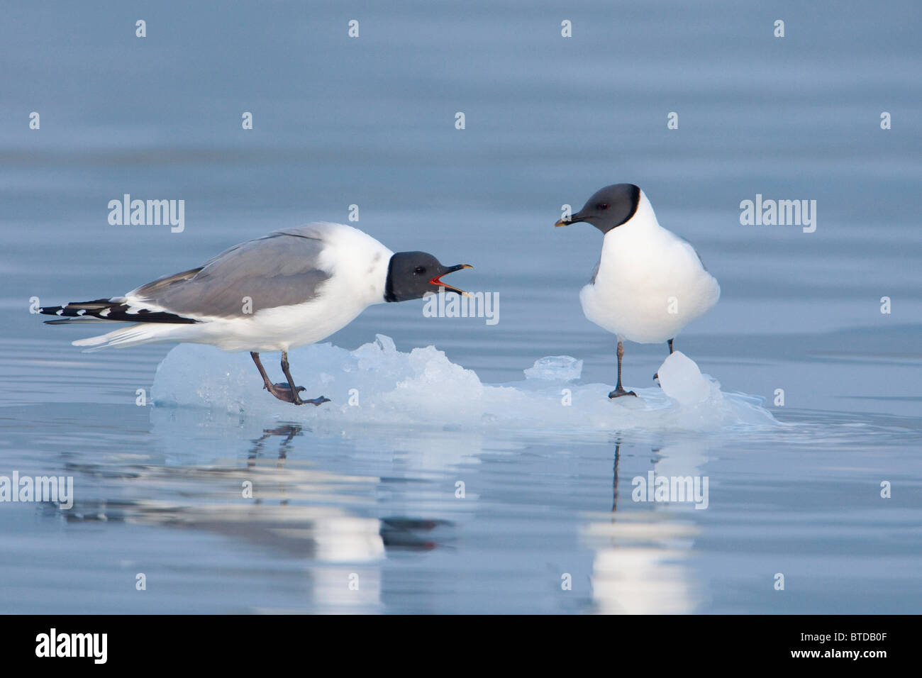 Sabine's Gulls on an iceberg showing a territorrial dispute, Columbia Bay, Prince William Sound, Southcentral - Stock Image