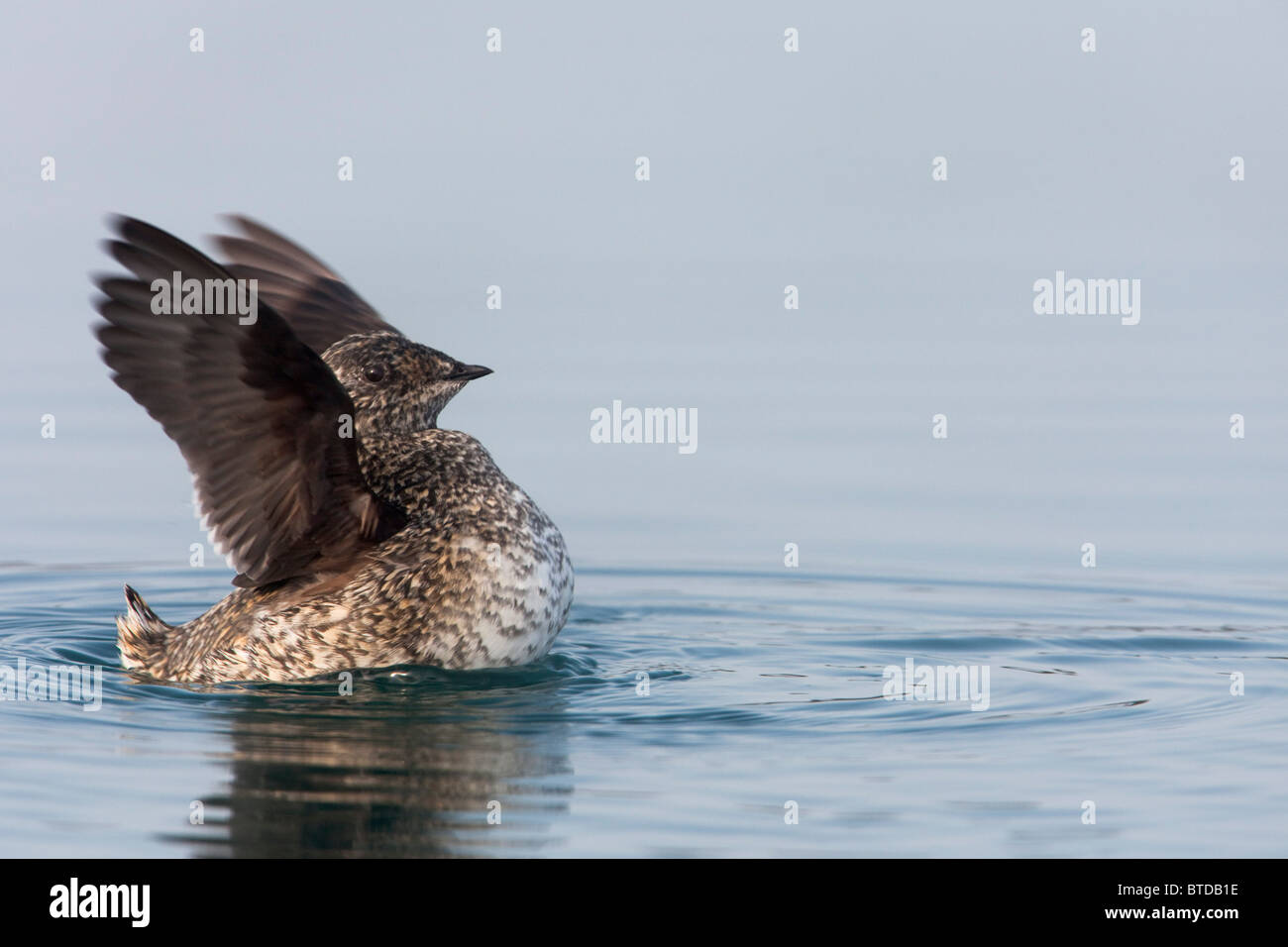 Kittlitz's Murrelet  flapping its wings, Prince William Sound, Alaska, Southcentral, Summer, IUCN Critically - Stock Image