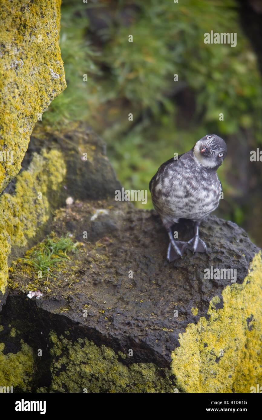 Least Auklet perched on a lichen covered rock, Saint Paul Island, Pribilof Islands, Bering Sea, Southwest Alaska, - Stock Image
