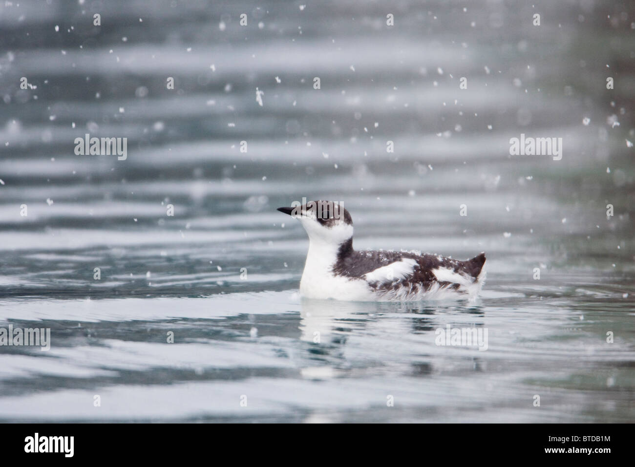 Marbled murrelet with winter plumage swimming during a snowfall in Prince William Sound, Alaska,  Winter, IUCN Endangered - Stock Image