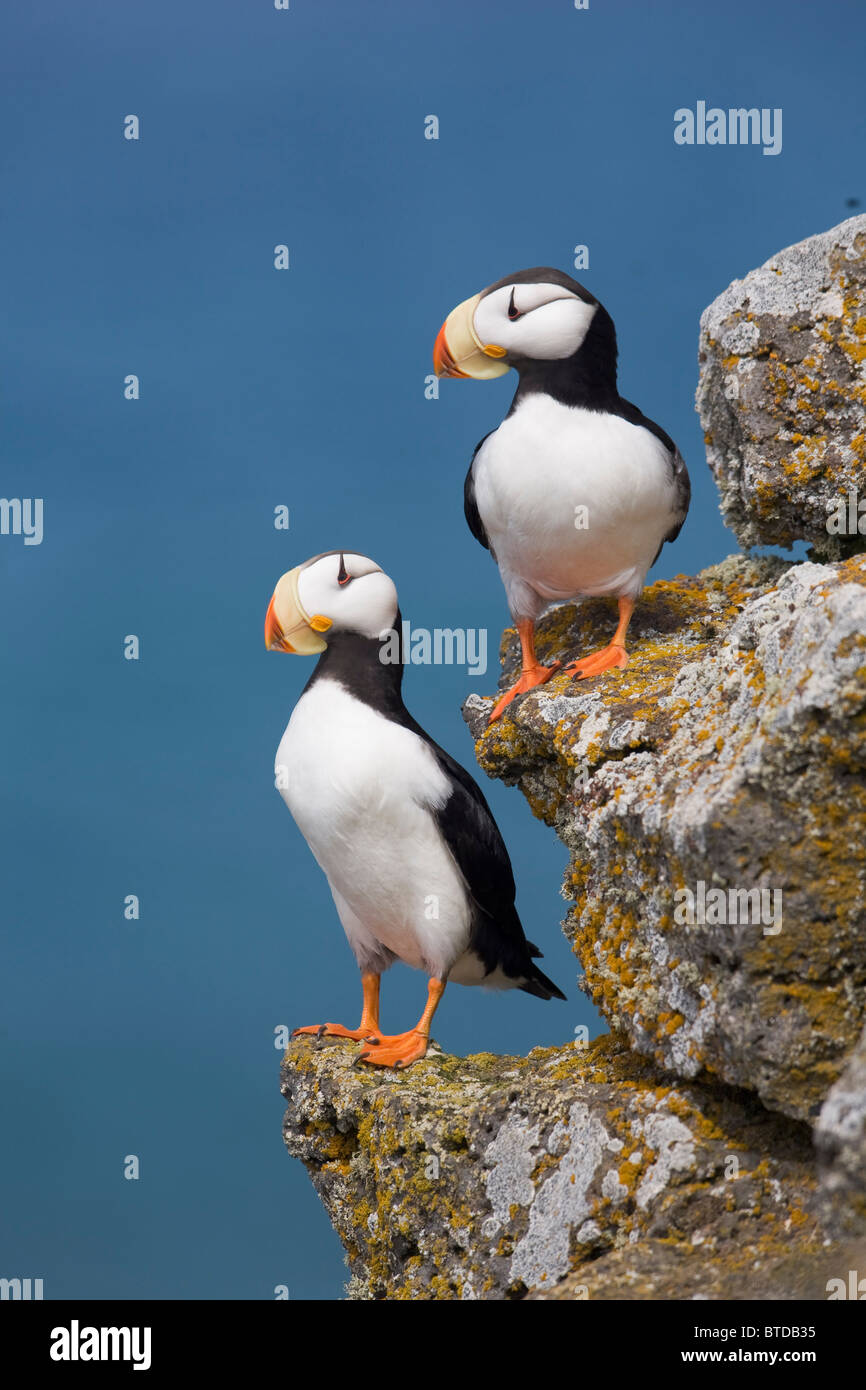 Horned Puffin pair perched on rock ledge with the Bering Sea in background, Saint Paul Island, Pribilof Islands, Stock Photo