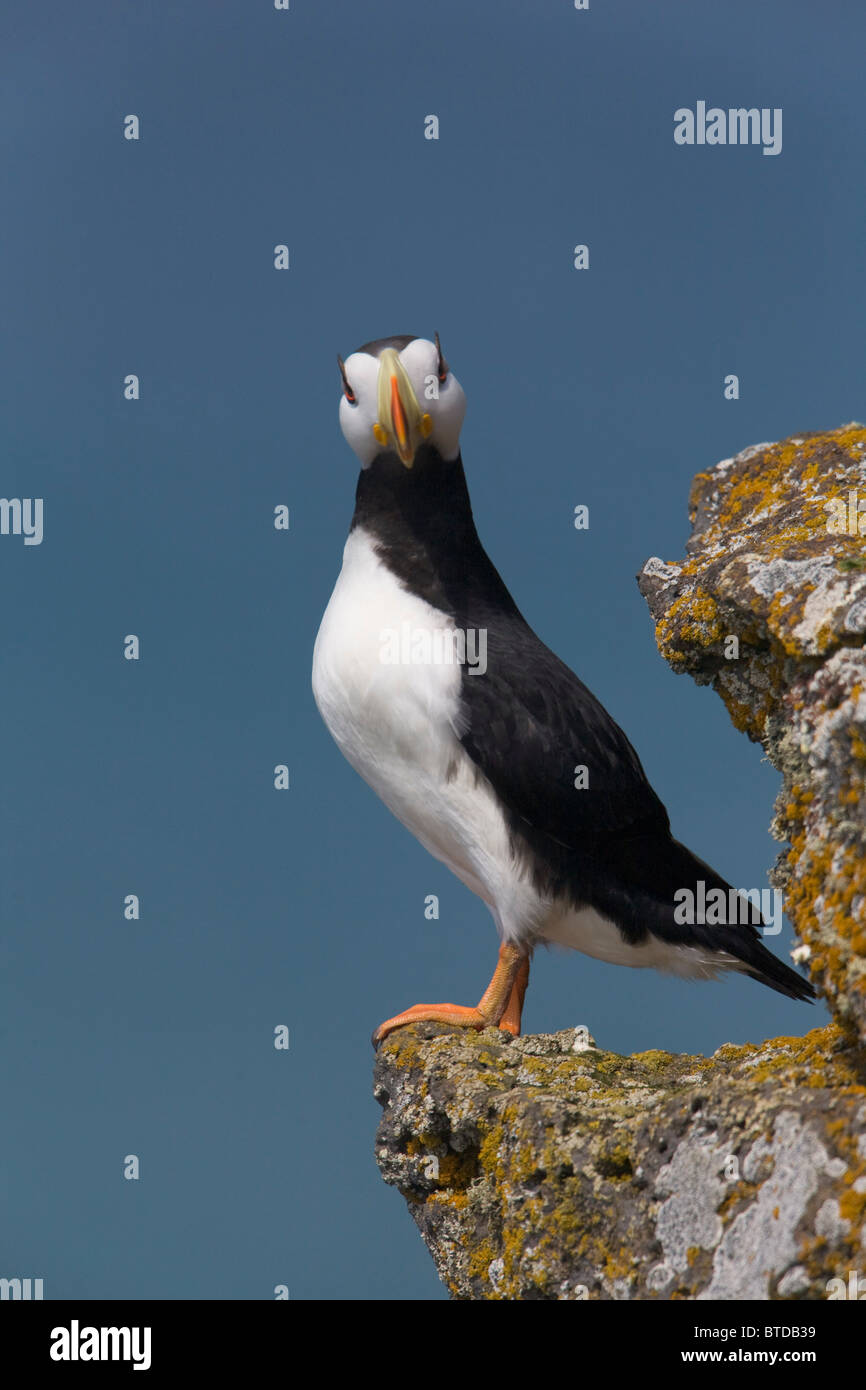 Horned Puffin perched on rock ledge with the Bering Sea in background, Saint Paul Island, Pribilof Islands, Bering Stock Photo