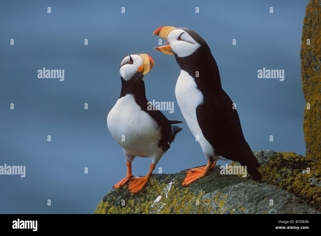 Horned Puffin pair on ledge, courtship display, Round Island, Walrus Islands State Game Sanctuary, Bristol Bay, Alaska Stock Photo