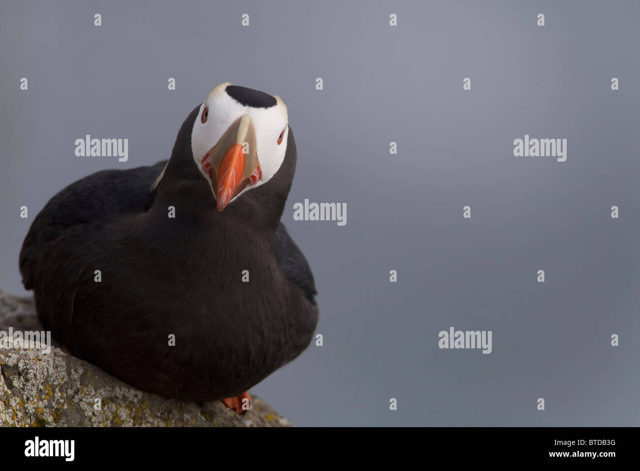 Tufted Puffin perched on rock ledge, Saint Paul Island, Pribilof Islands, Bering Sea, Southwest Alaska Stock Photo