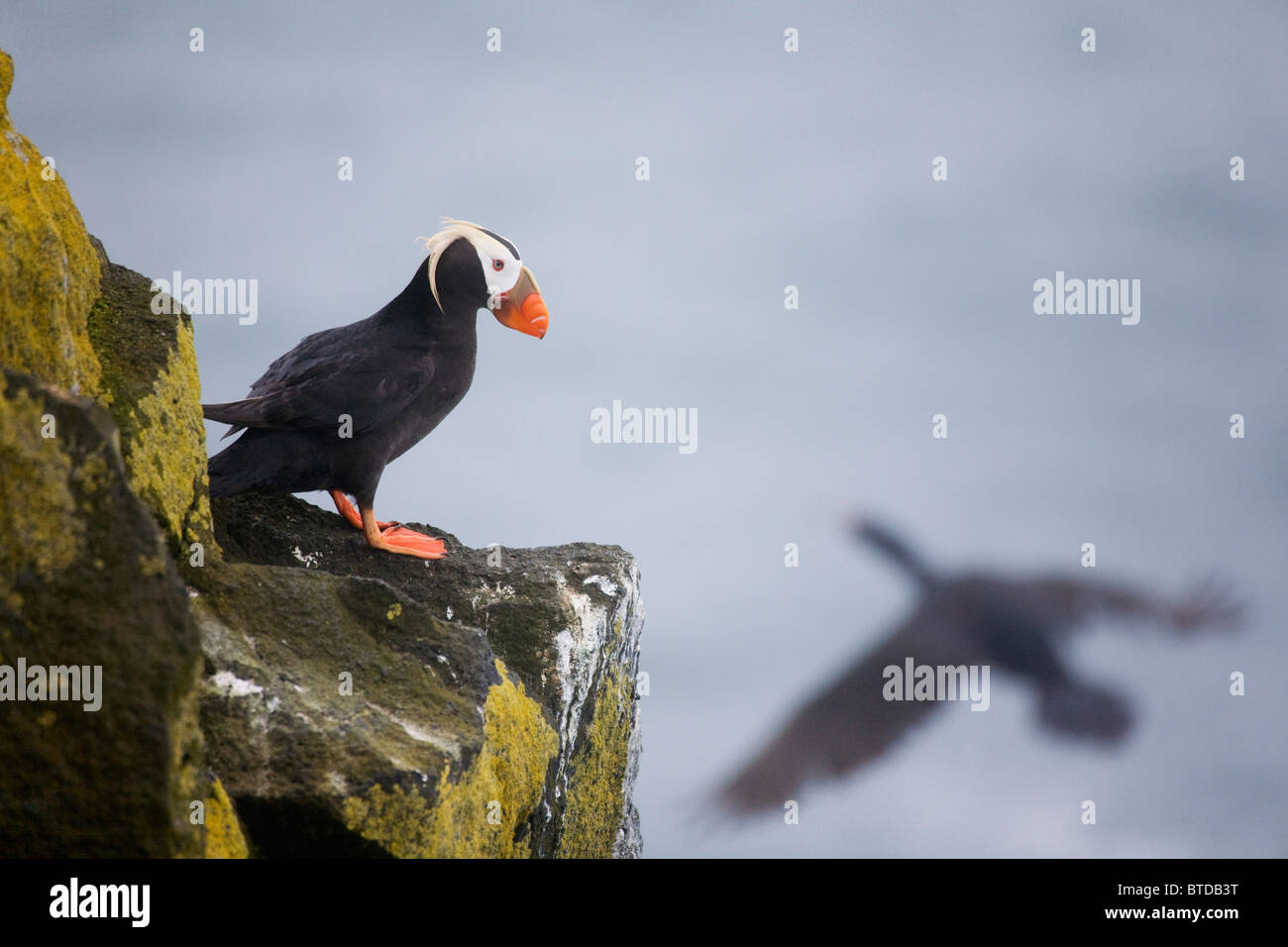Tufted Puffin on cliff ledge with Red-faced Cormorant flying by, Saint Paul Island, Pribilof Islands, Bering Sea, - Stock Image