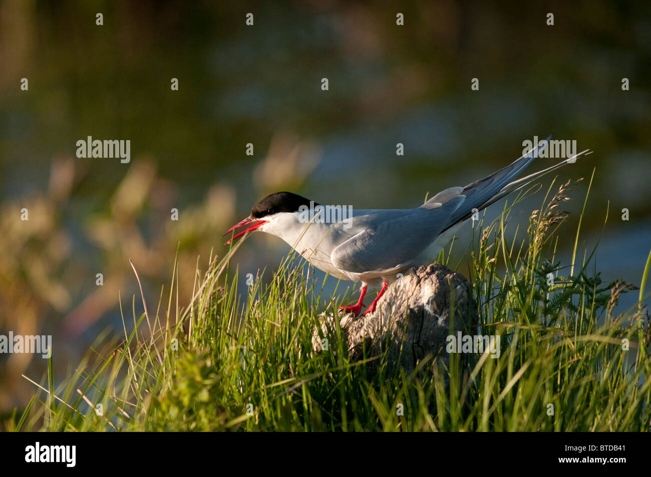 An Arctic tern stands on a rock at Potter Marsh in the Anchorage Coastal Wildlife Refuge, near Anchorage,  Alaska - Stock Image