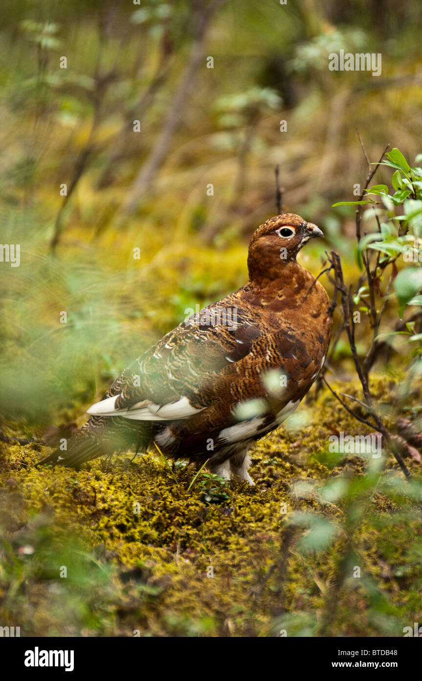 Willow Ptarmigan shows the early signs of winter plumage near the Sanctuary River in Denali National Park and Preserve, - Stock Image