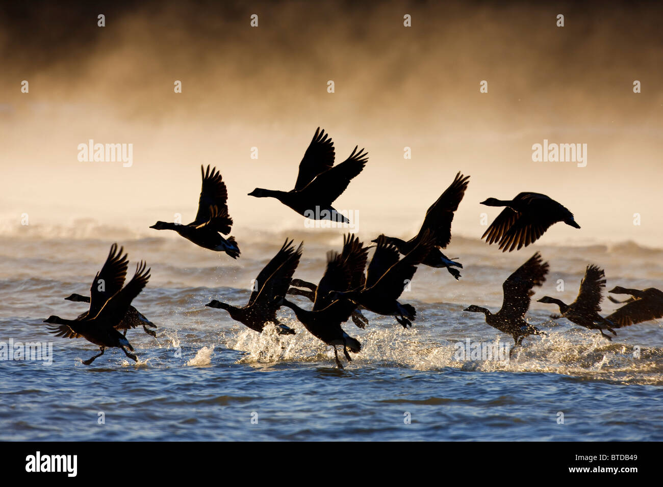 Canada Geese take flight on a misty winter morning in sub zero temps, Lynn Canal, Inside Passage, Southeast Alaska, - Stock Image