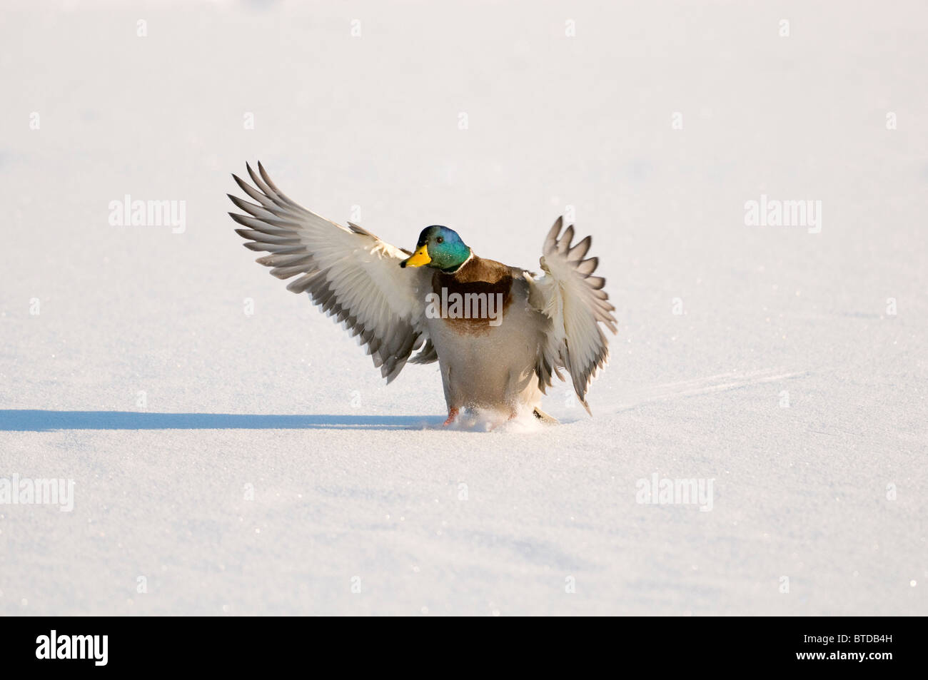 Mallard drake with wings extended lands in snow near Chena River, Fairbanks, Interior Alaska, Winter, Digitally Stock Photo