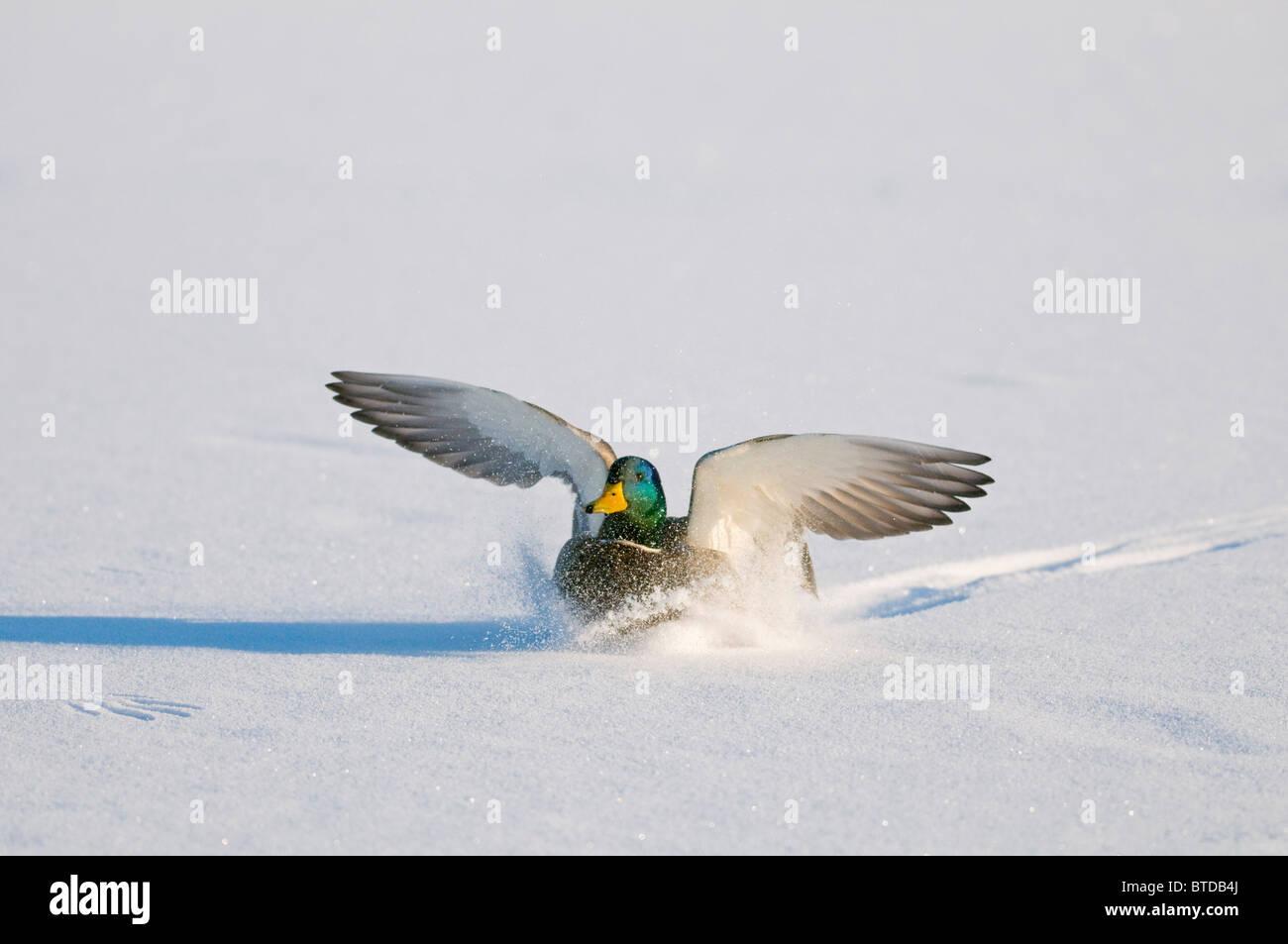Mallard drake with wings extended lands in snow near Chena River, Fairbanks, Interior Alaska, Winter, Digitally Stock Photo