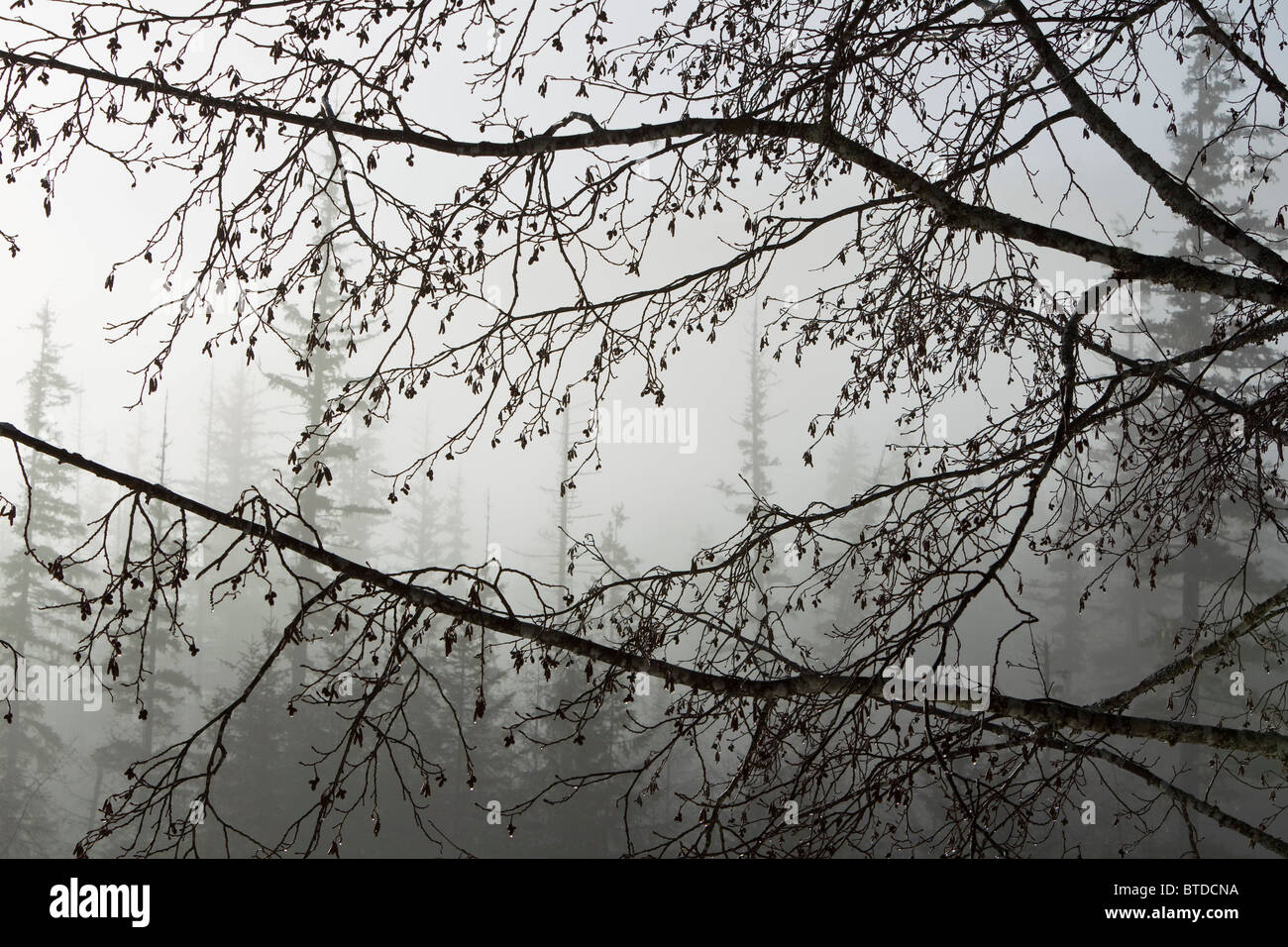 Alder cones dripping with moisture hang off branches on a misty morning in Tongass National Forest, Southeast Alaska, - Stock Image