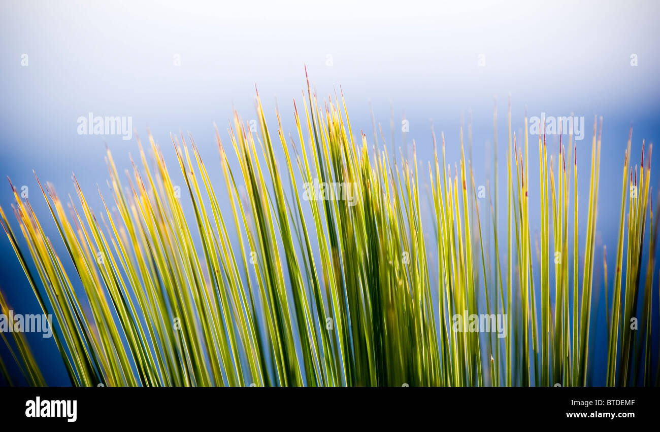 Grass Tree (xanthorrhoea) in sharp detail against a blue sky - Stock Image
