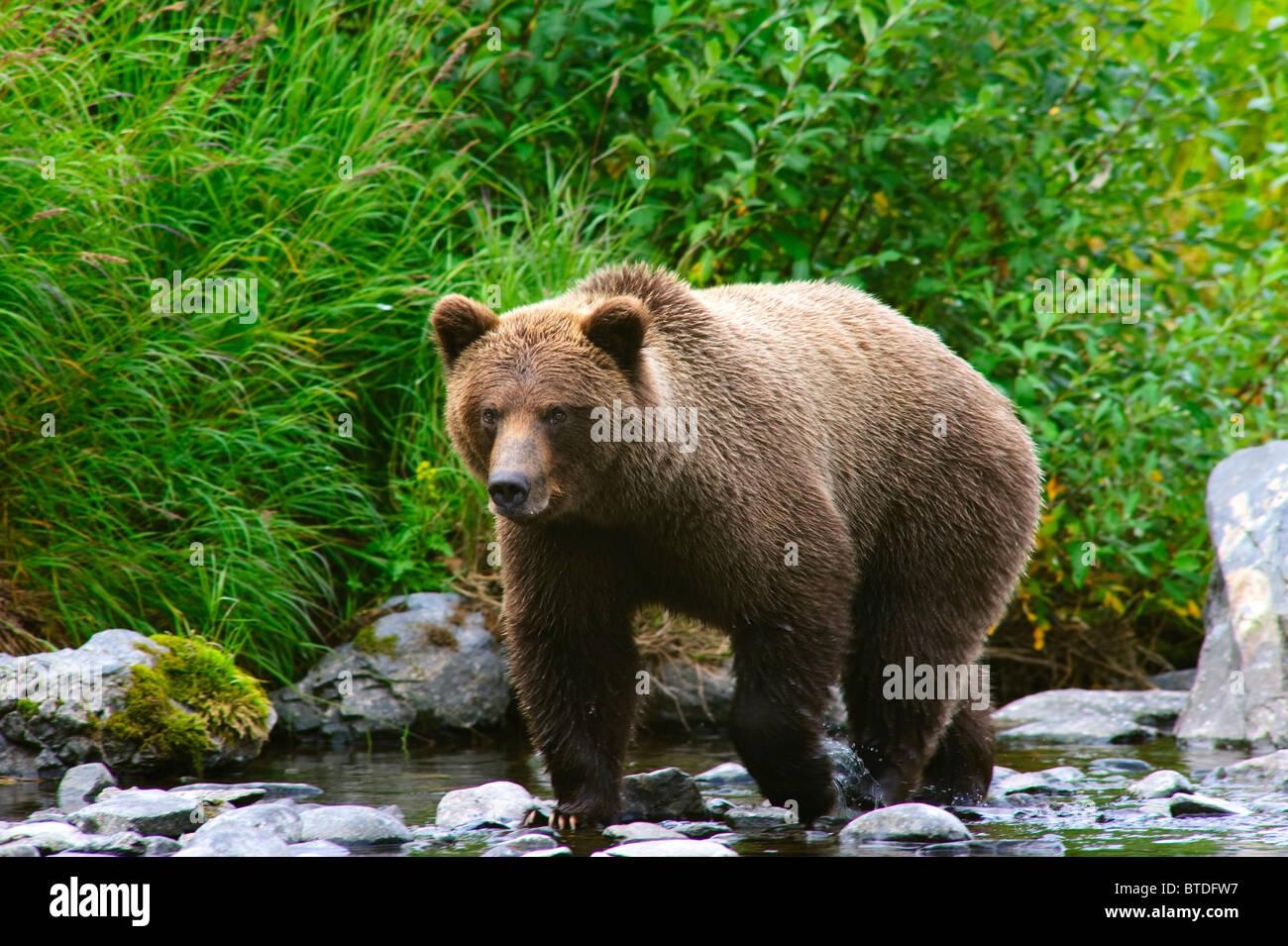 A Brown Bear fishing for salmon on the Russian River, Kenai Peninsula, Southcentral, Alaska - Stock Image