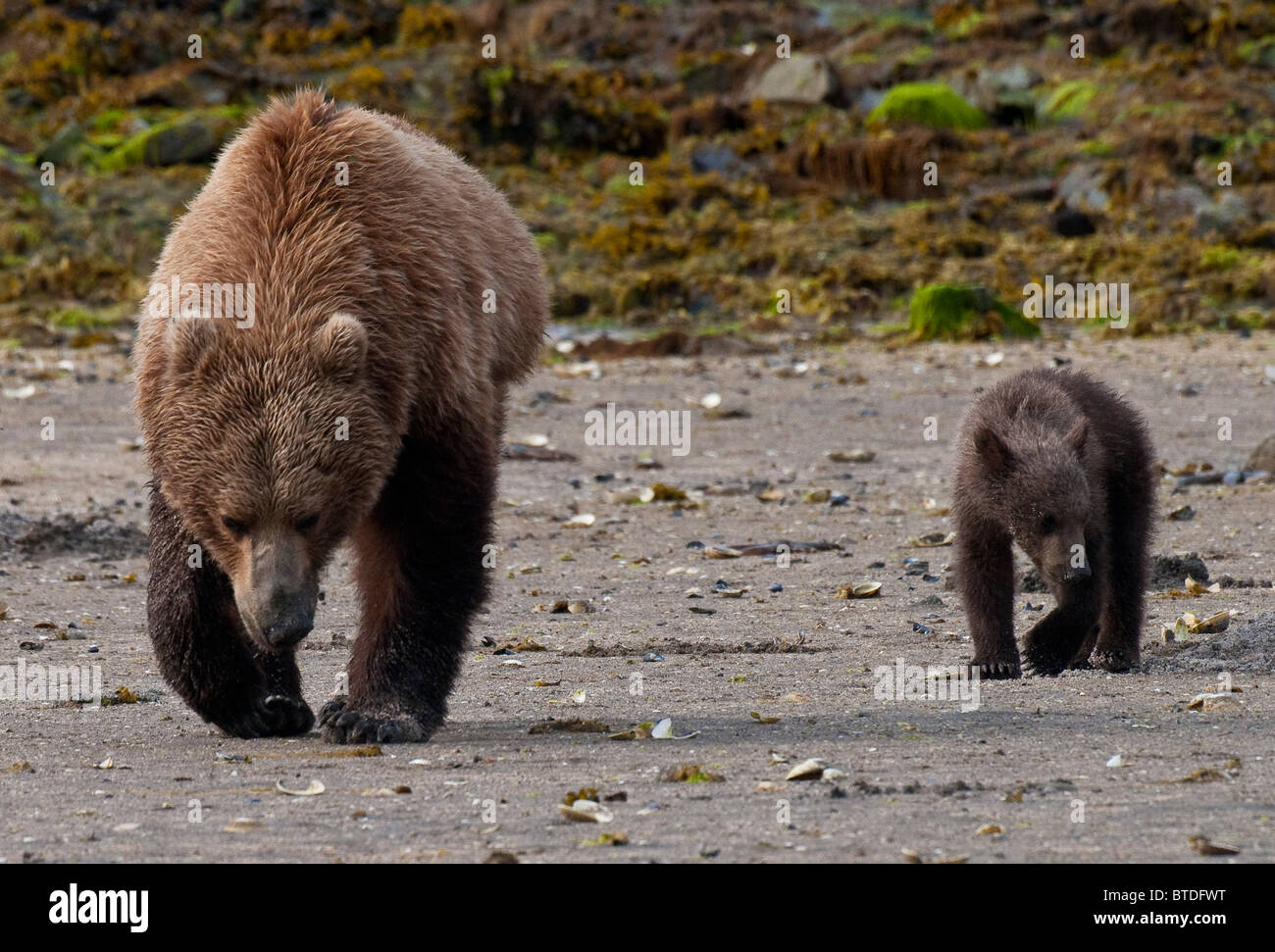 Brown bear sow with cub hunting for clams in  Geographic Harbor, Katmai National Park, Southwest Alaska, Summer - Stock Image