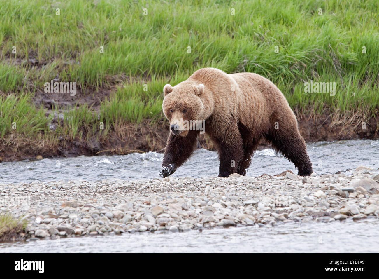 An adult Brown Bear walks along a rocky island in Mikfik Creek, McNeil River State Game Sanctuary, Southwest Alaska, - Stock Image