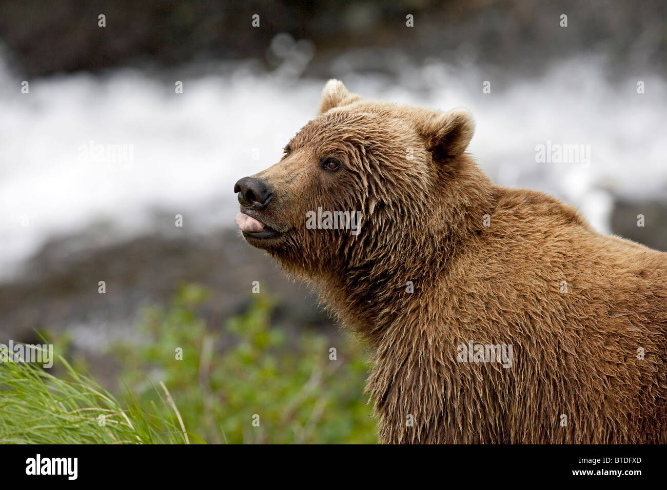 Portrait of an adult Brown Bear sticking its tongue out, McNeil River State Game Sanctuary, Southwest Alaska, Summer - Stock Image