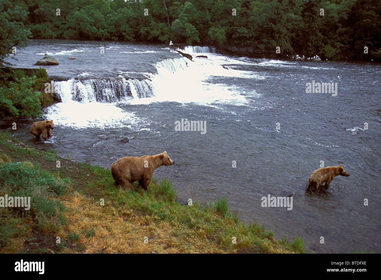 Sow and Two Cubs at Brooks Falls Western Alaska - Stock Image