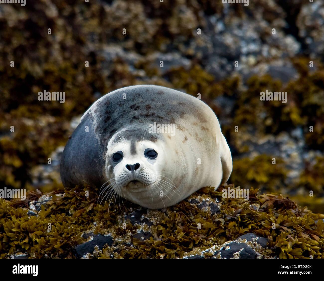 Harbor seals sits on the rocks along Kukak Bay, Katmai National Park, Southwest Alaska, Summer - Stock Image