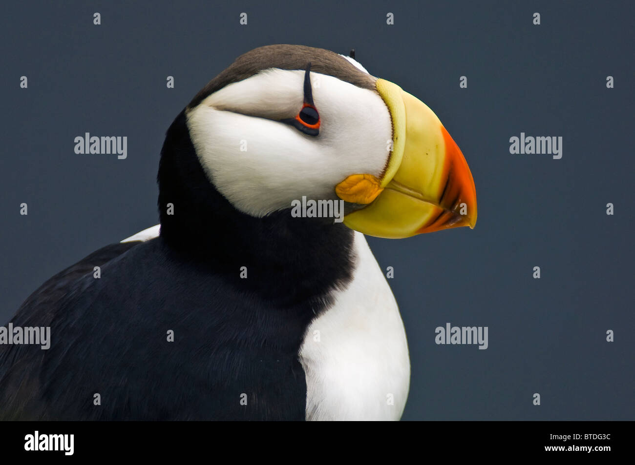 Horned Puffin in breeding plumage perched on a moss-coverd rocky outcropping on St. George Island, Southwest Alaska Stock Photo