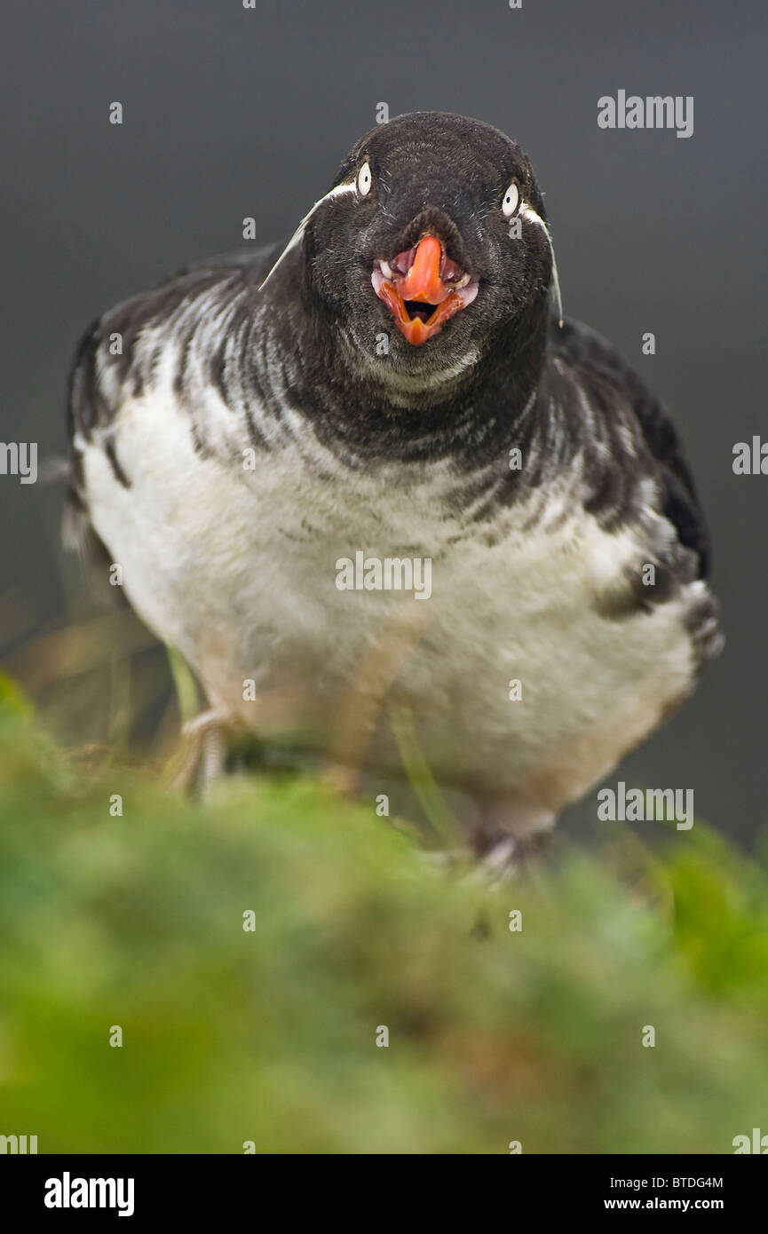 A Parakeet Auklet calls while looking up from its perch on a St. George Island sea cliff, Southwest Alaska - Stock Image