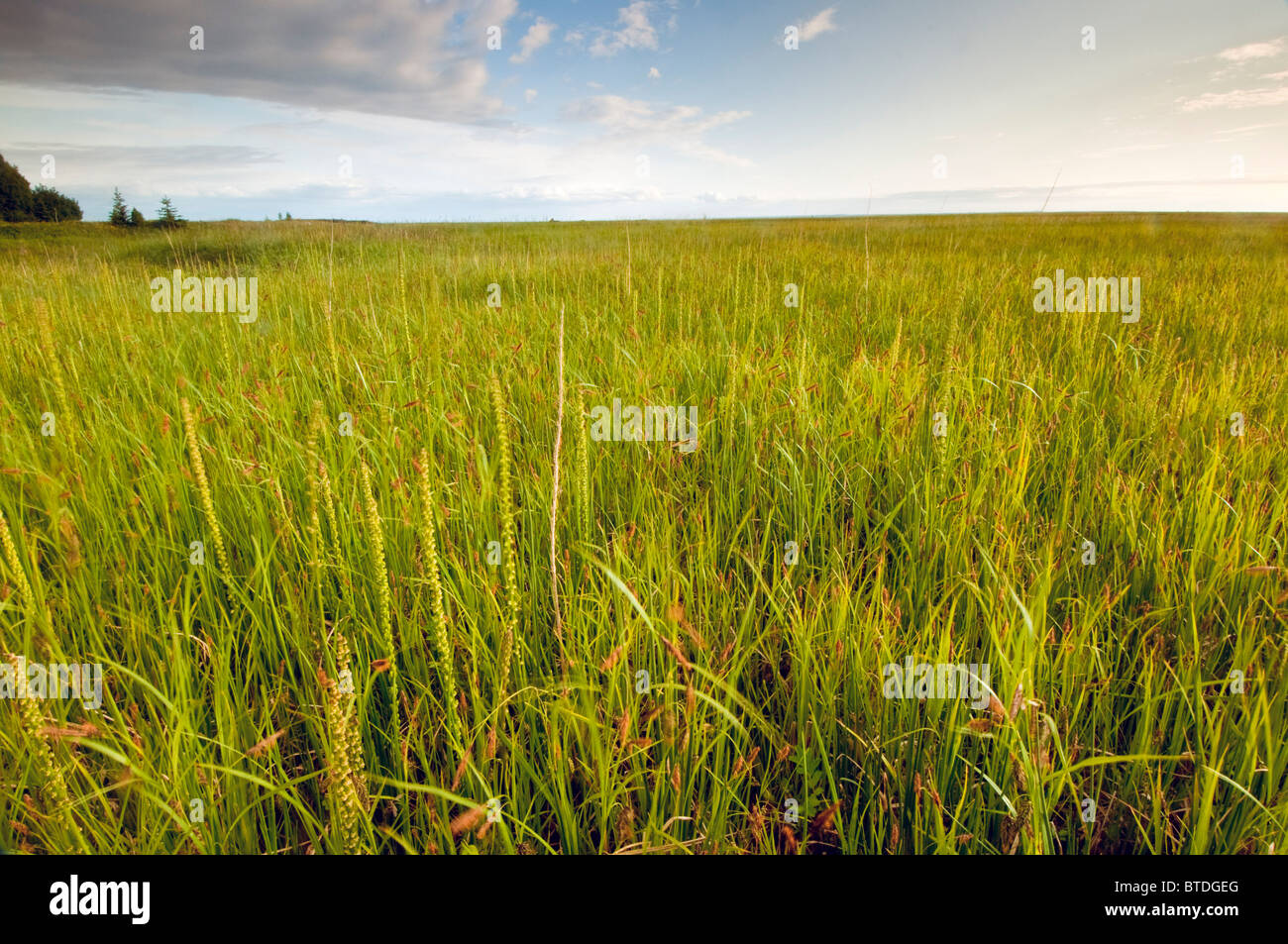 View of coastal grasses near the Campbell Creek outlet along the Anchorage Coastal Wildlife Refuge, Southcentral - Stock Image
