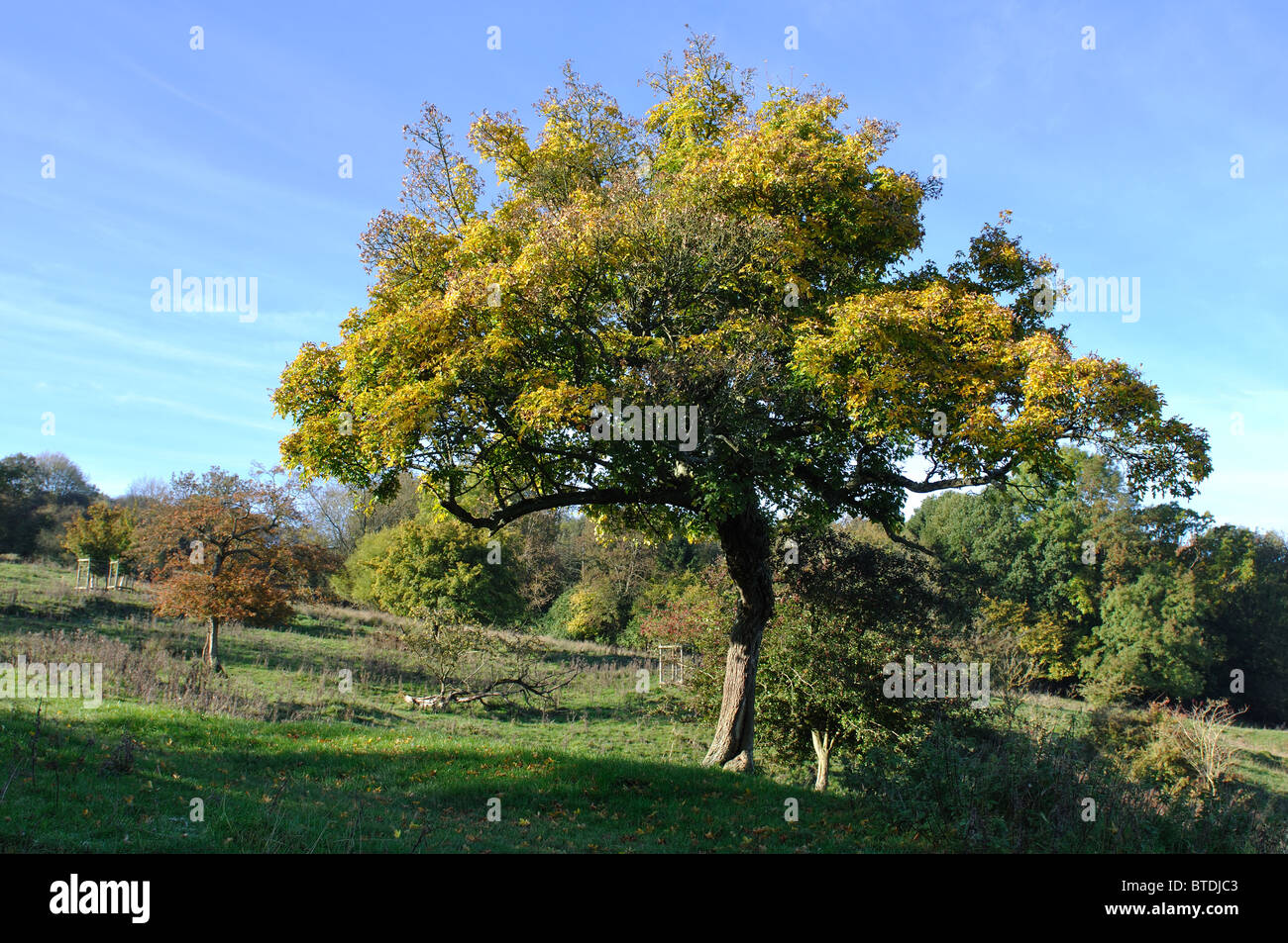 Field Maple Tree Acer Campestre In Autumn On Bredon Hill Stock