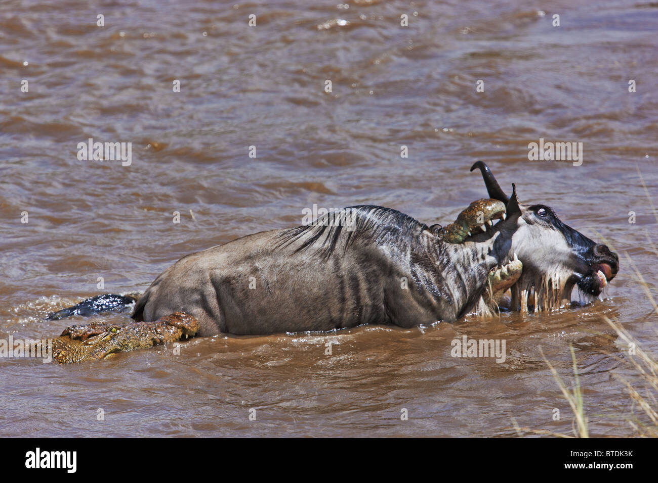 Crocodile (Crocodylus niloticus) Catching Blue Wildebeest (Connochaetes taurinus) in the Masai Mara National Reserve. - Stock Image
