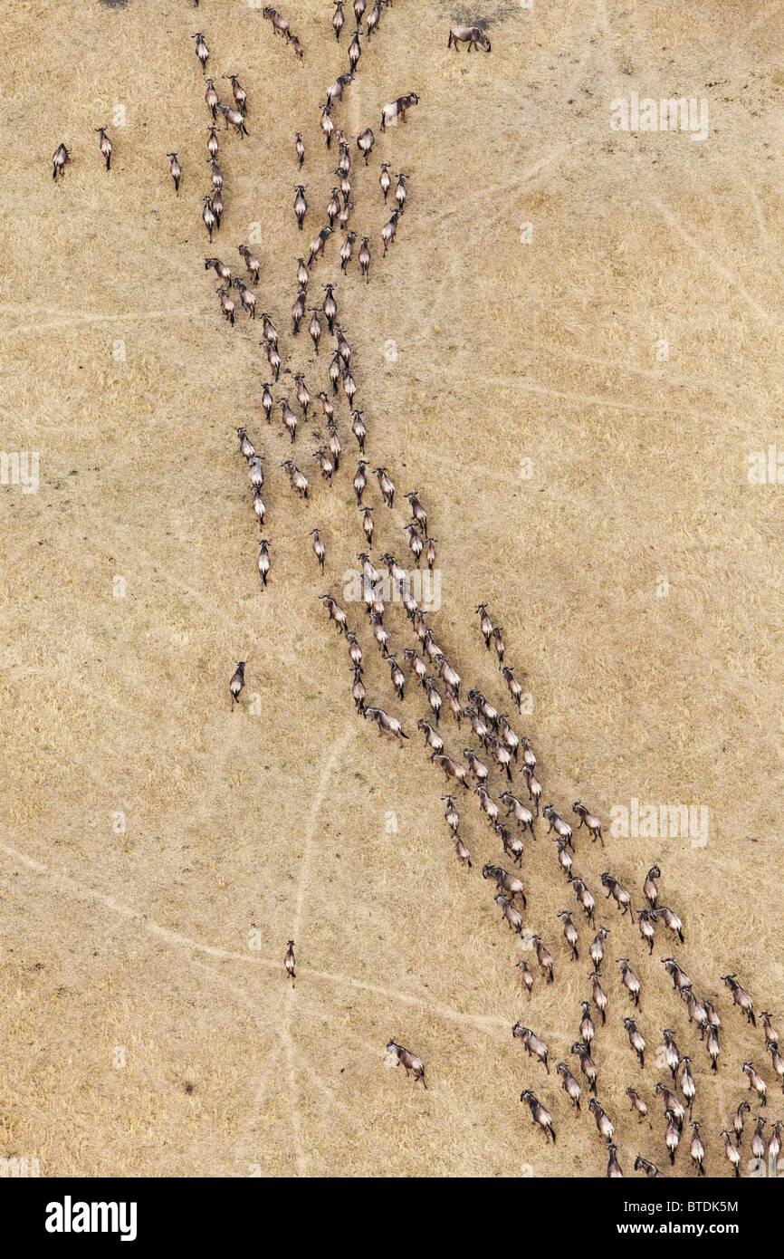 Aerial view of Blue Wildebeest (Connochaetes taurinus) migration - Stock Image