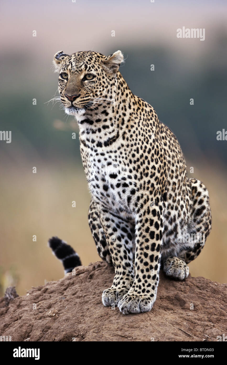 Leopard ( Panthera pardus) Using termite mound as vantage point Masai Mara National Reserve. Kenya - Stock Image