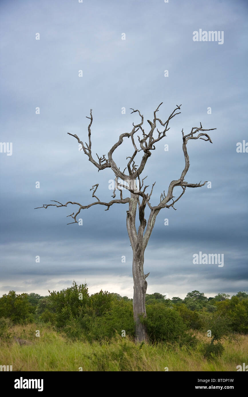 A dry leafless tree against a stormy sky - Stock Image