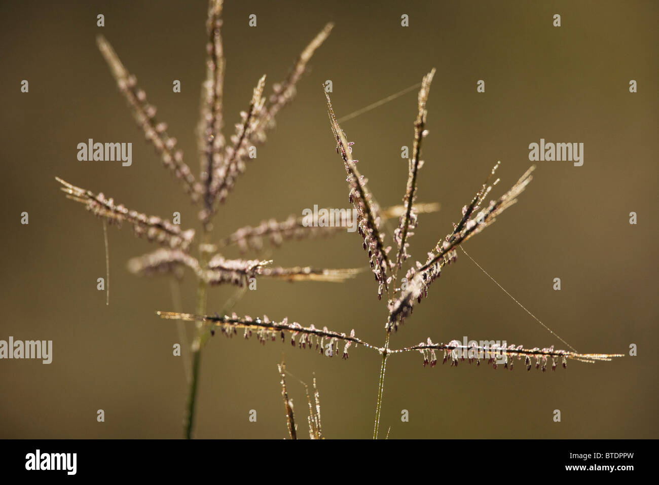 Backlit grass seed-heads with strands of spider silk - Stock Image