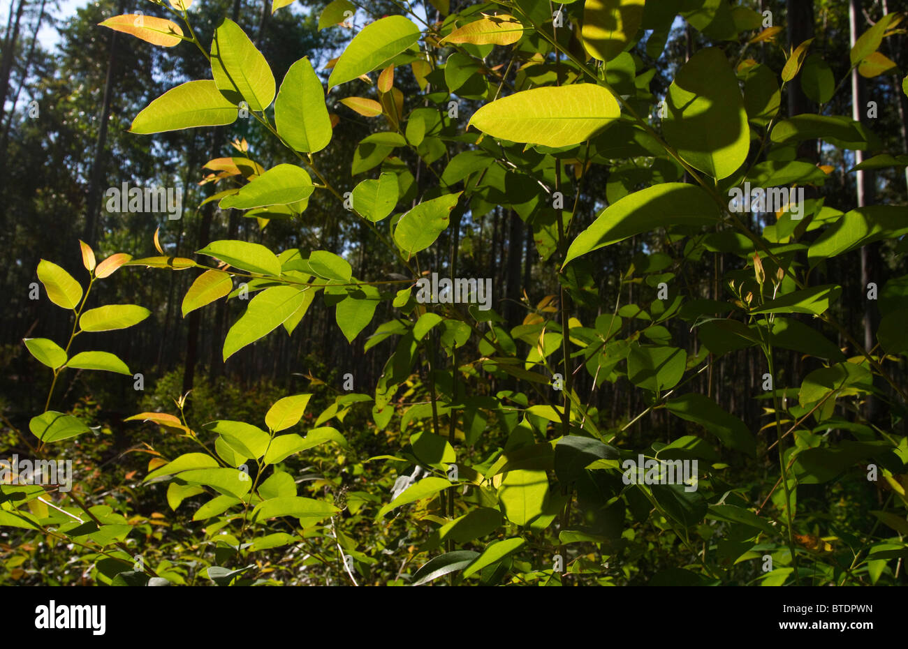 Back-lit eucalypt leaves in a gum forest - Stock Image