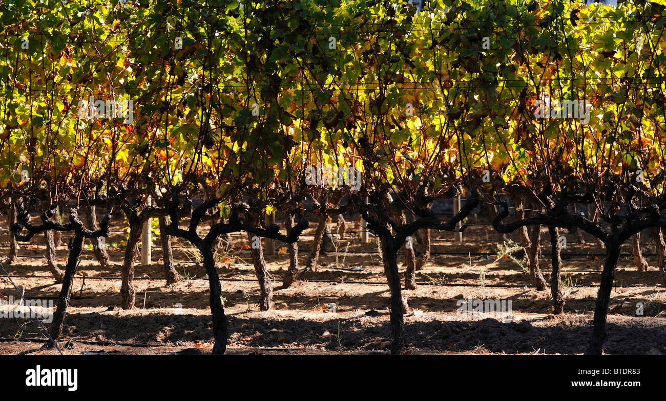 Vines in a vineyard - Stock Image