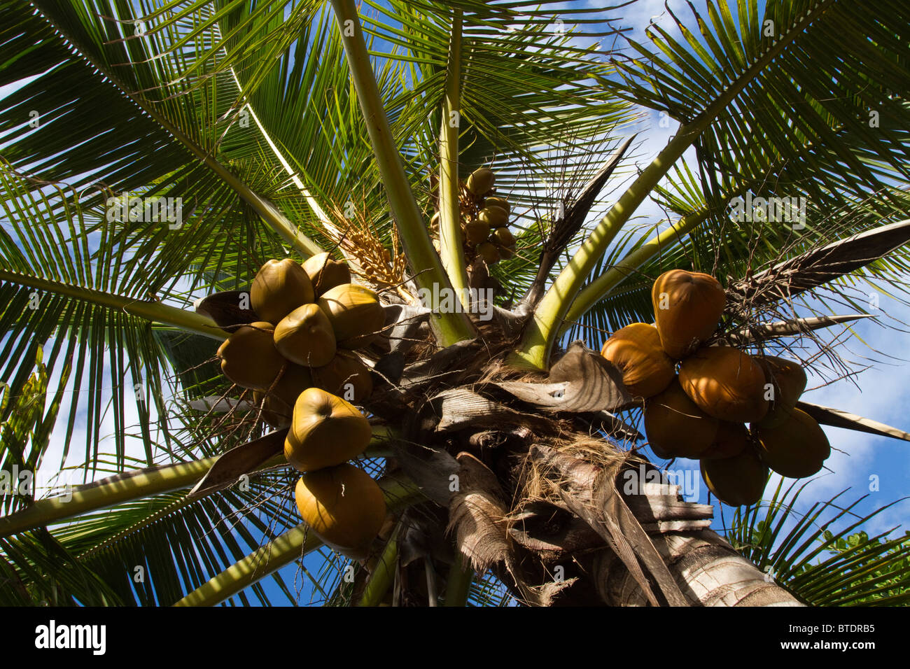 Coconut palm viewed from below - Stock Image