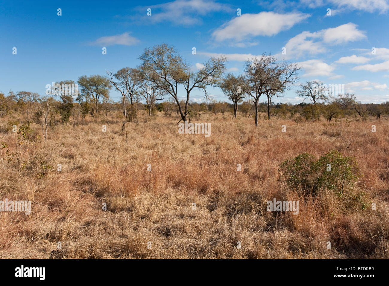 Scenic view of an Acacia nigrescens savanna during the dry season - Stock Image