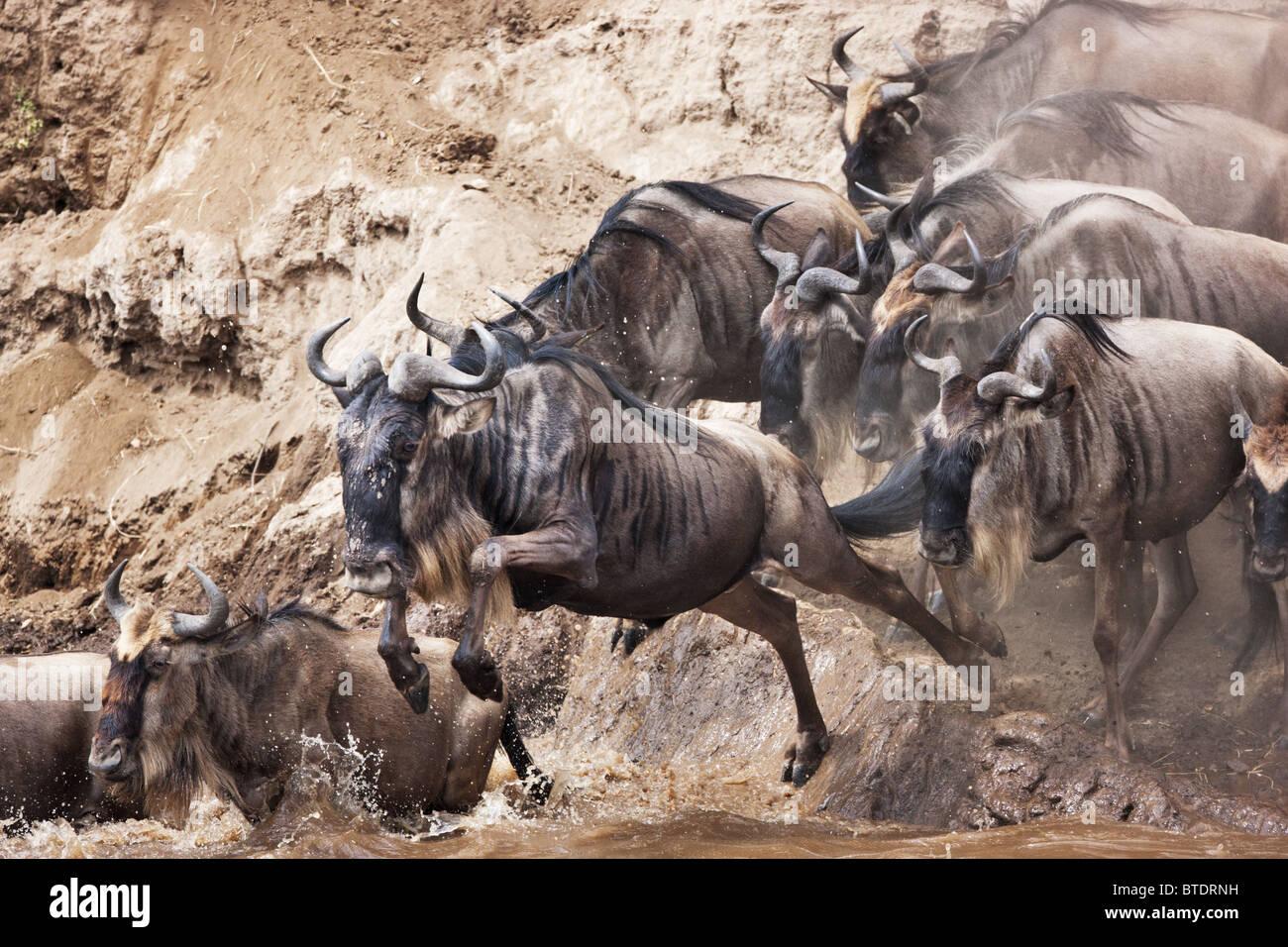 Wildebeest migration crossing the Mara River.Masai Mara National Reserve. Kenya - Stock Image