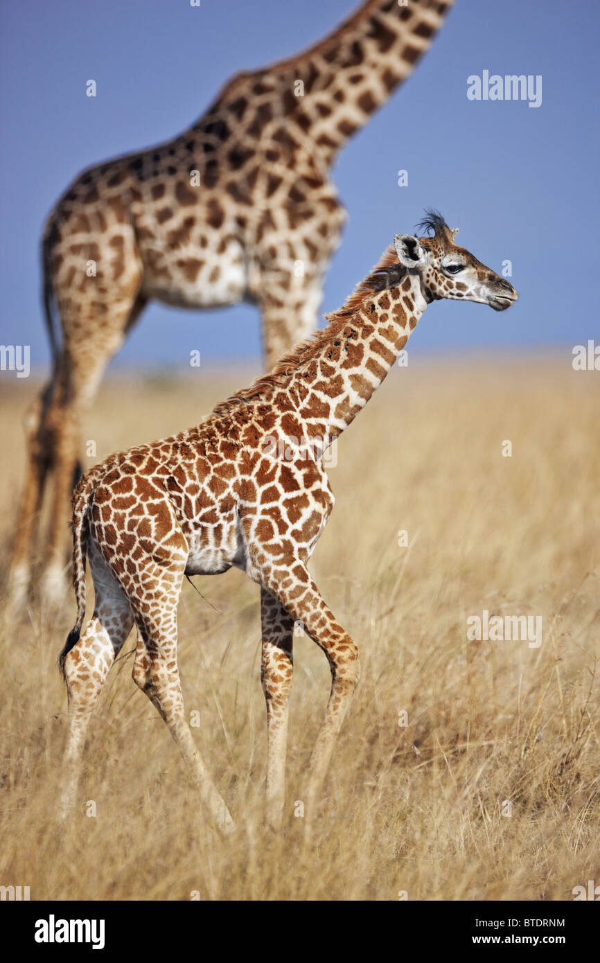 Maasai Giraffe (Giraffa camelopardalis subspp.) On Mara plains. Dist. Africa south of Equator. - Stock Image