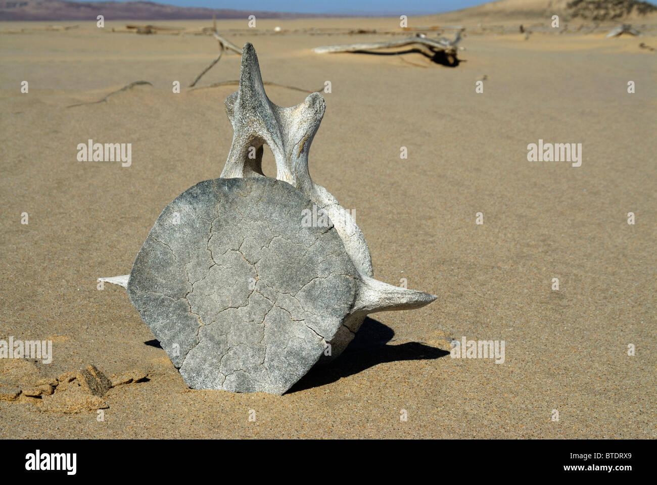 Whale vertebra on the beach - Stock Image