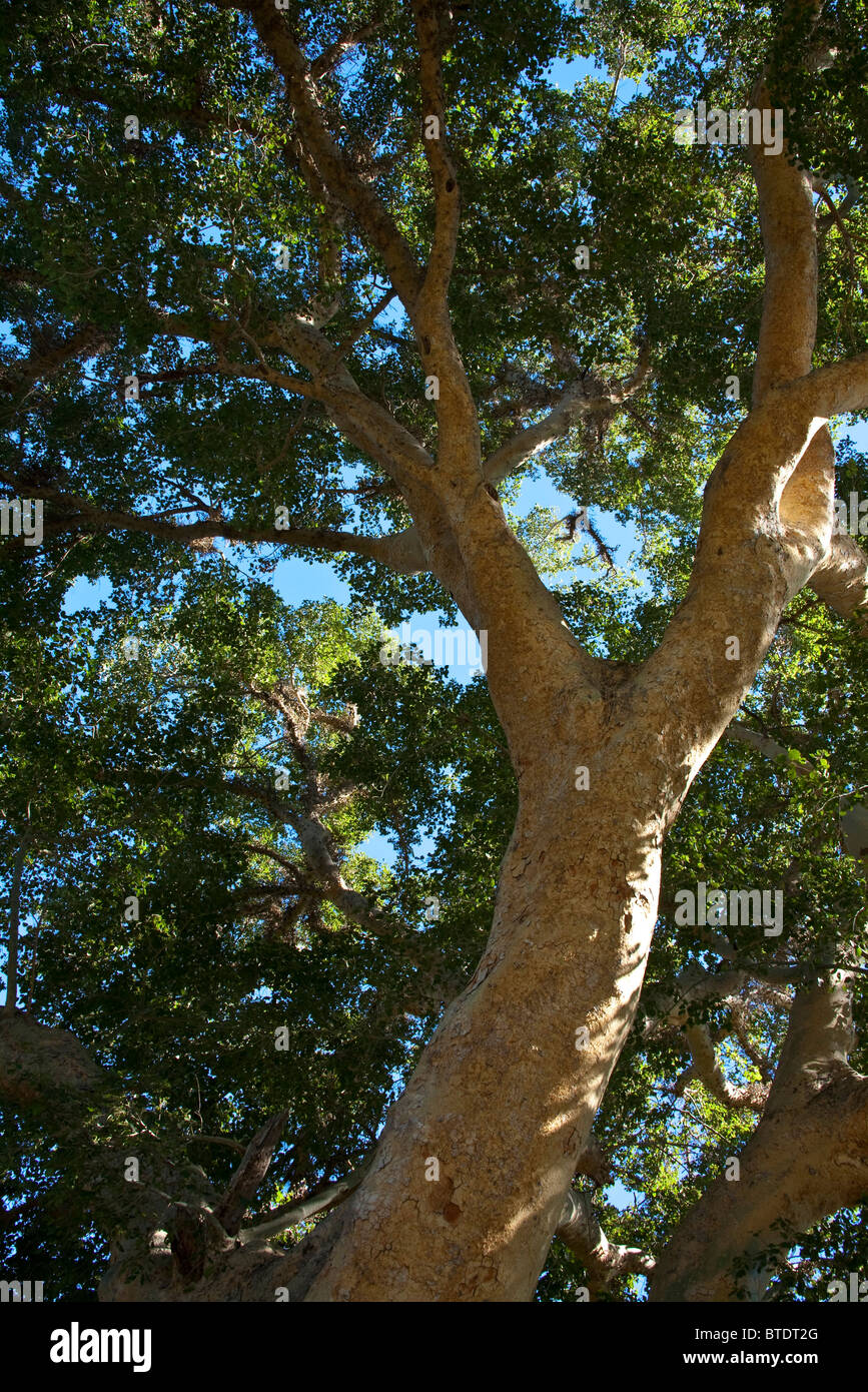 Sycamore fig viewed from below (Ficus sycomorus) - Stock Image